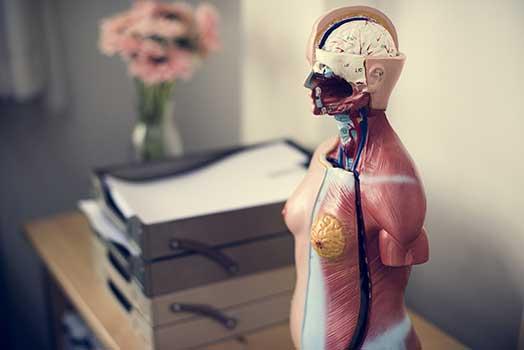 Le cerveau et le ventre : Quels liens ?
